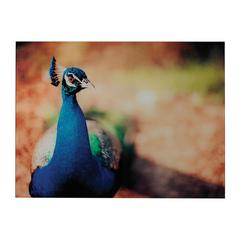 Sterling Peacock-Peacock Photograph Printed On Glass