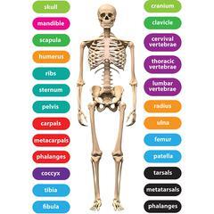 Magnetic Human Skeleton 8X11 26Pc, Set Die Cut Sheet