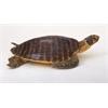 "Benzara Polystyrene Sea Turtle 24""W, 9""H"