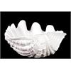 Alluring Ceramic Giant Clam Seashell Valve Gloss White