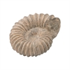 Cretaceous Ancient Shell Sculpture