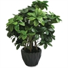 "First Base Elementals Pittosporum Tobira Plant - 16"" Tall - Pittosporum Tobira - Pot - Green, Black - 1 Each"